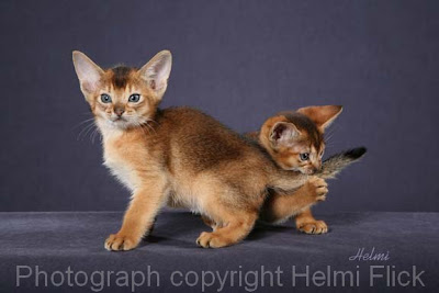 ruddy abyssinian kittens for sale - Tawny - Usual