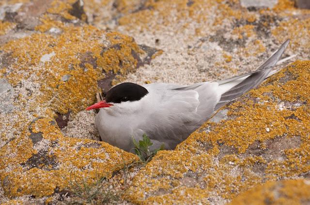 Arctic Tern Nesting- Farne Islands, Northumberland
