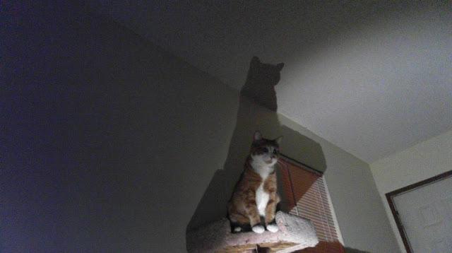 funny cat pictures, batman cat