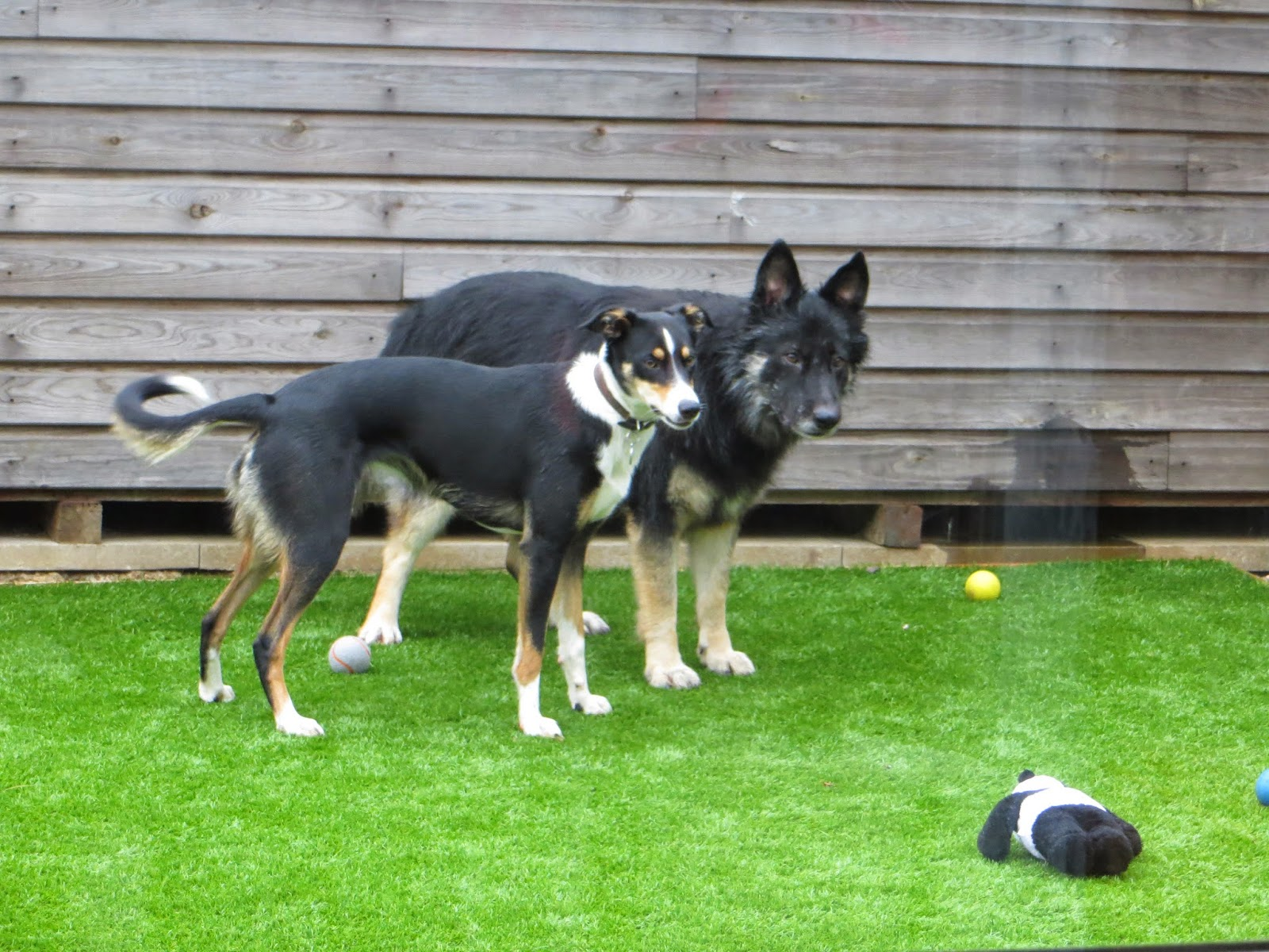 Shona the collie x and Trojan german Sheperd/collie x