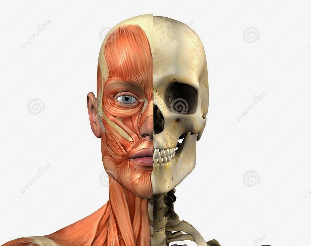 Único Anatomía Y Fisiología Cráneo Humano Embellecimiento - Anatomía ...