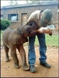 Baby elephant lerato