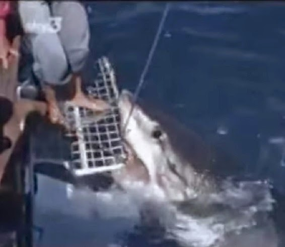 Valerie Taylor hand feeds great white shark