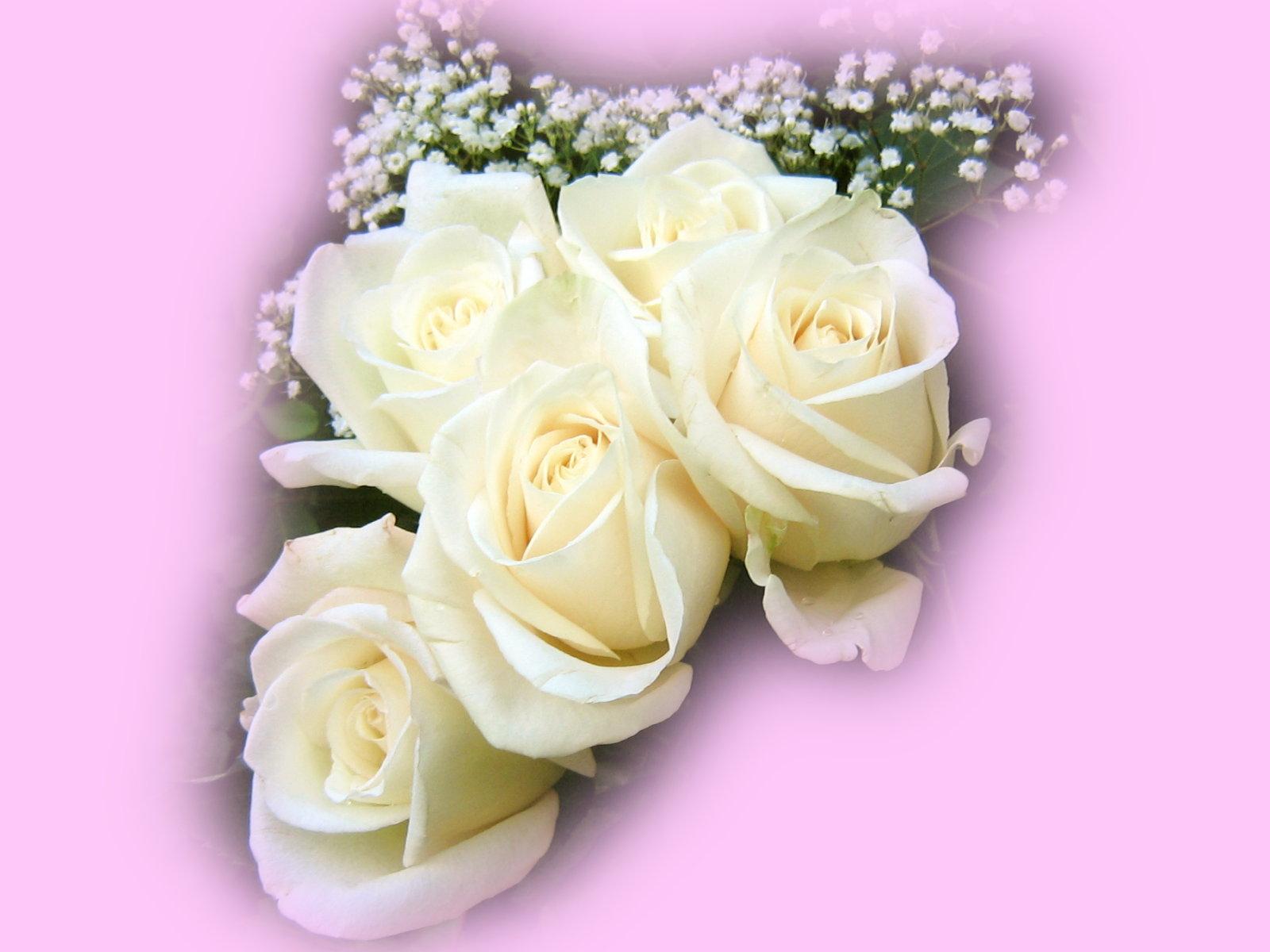 Nice White Rose Flower Wallpaper