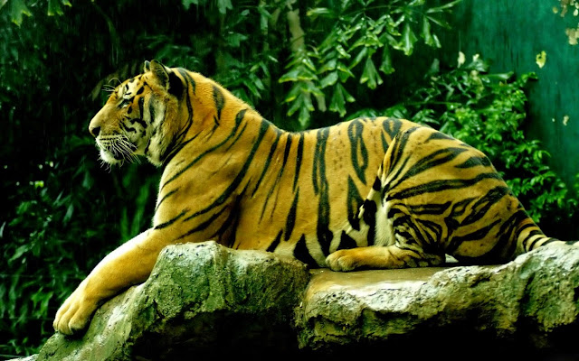 112331-Royal Bengal Tiger Animals HD Wallpaperz