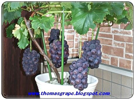 Thomasgrape Tabulampot Anggur Review Ebooks