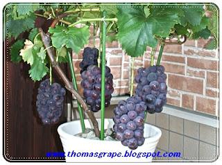 tabulampot anggur import