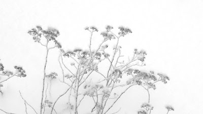 Flowers in the Snow Black and White Photograph