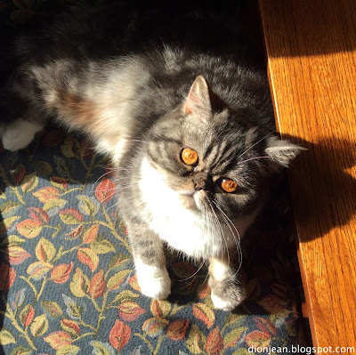 Popoki the exotic shorthair cat in the sunshine