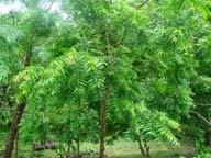 Neem trees