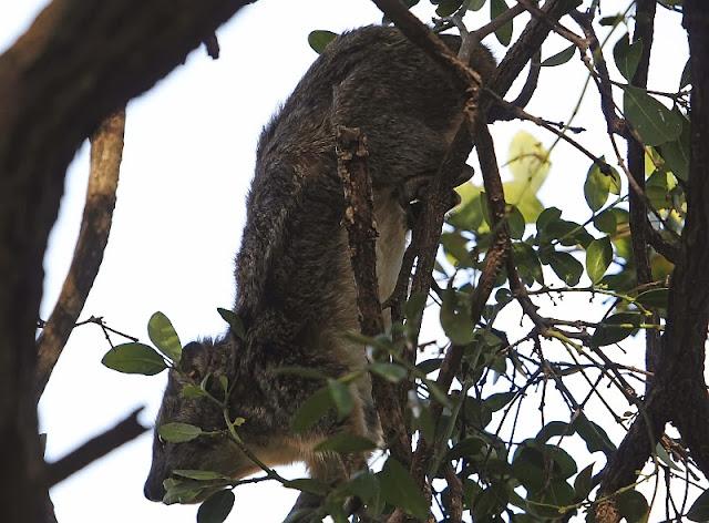 bush hyrax (Heterohyrax brucei) Ethiopia