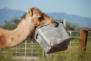 Funny Camel