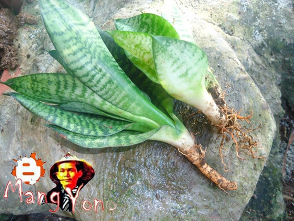 (ii). Anakan Bunga Lidah Mertua (Sansevieria )