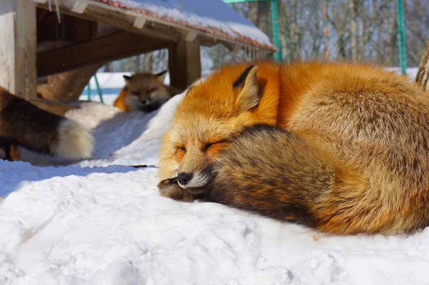 zao fox village japan adorable photos-11