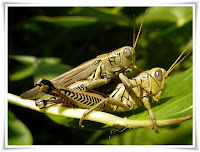 Grasshopper Animal Pictures