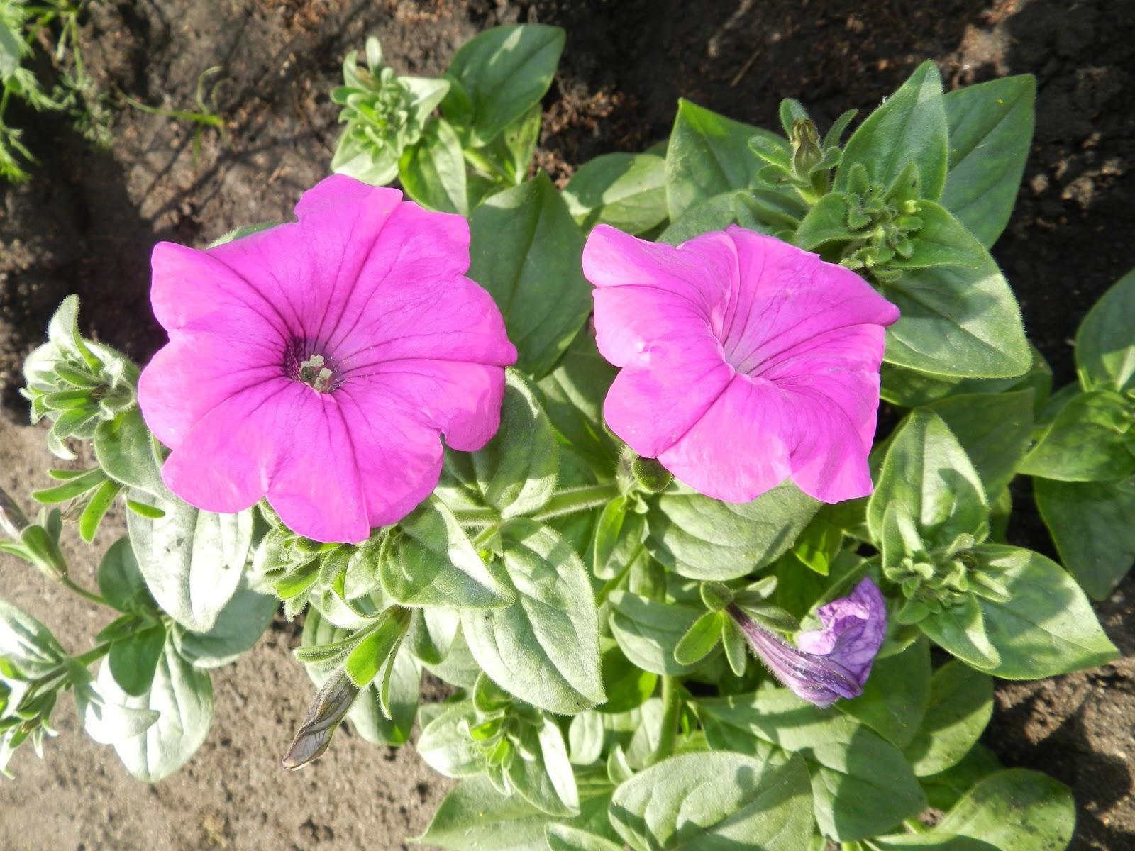 Садовые цветы самосевы фото и названия