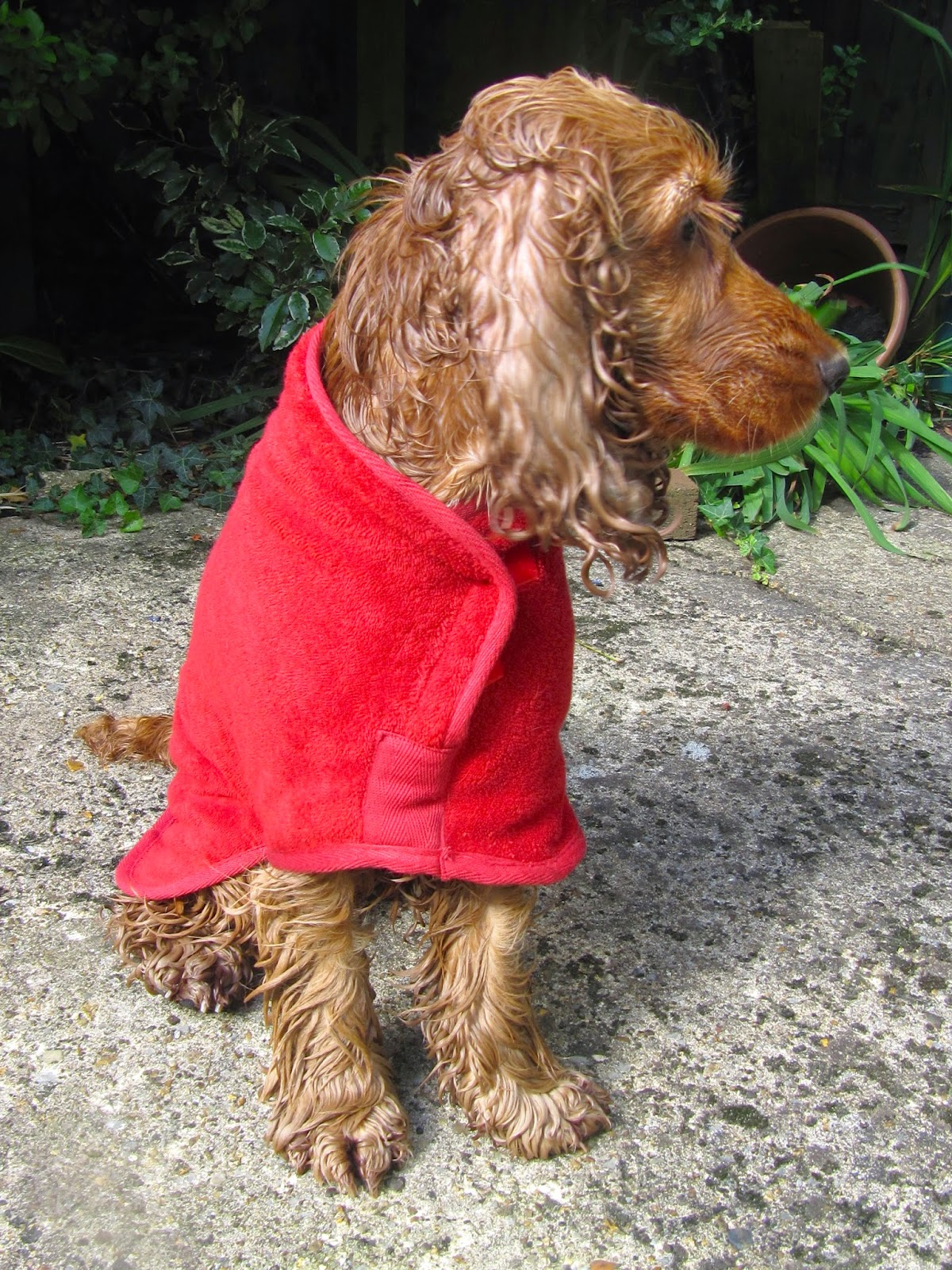 A Spaniel's Tail: Ruff and Tumble drying coat review