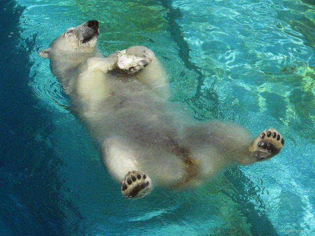 relax polar bear on water, funny animal pictures of the week