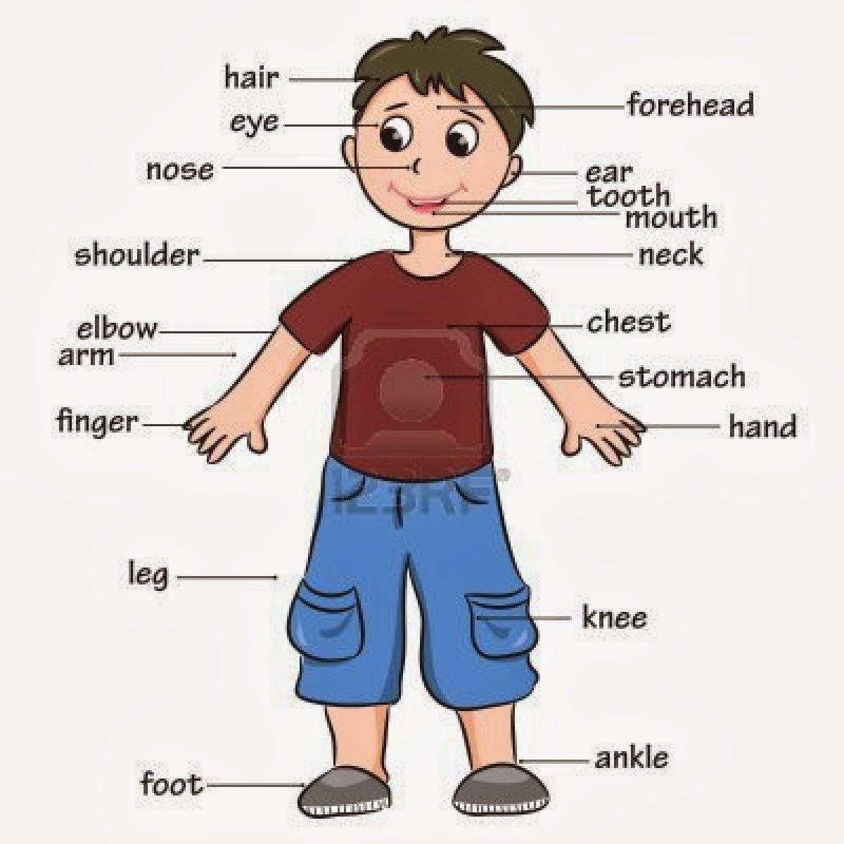 Parts Of The Body Umargam Brp English