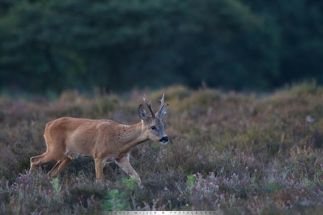 Reebok - Roe Deer buck - Capreolus capreolus