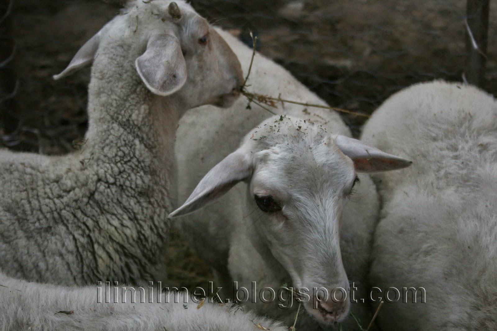türkiyedeki koyunlar