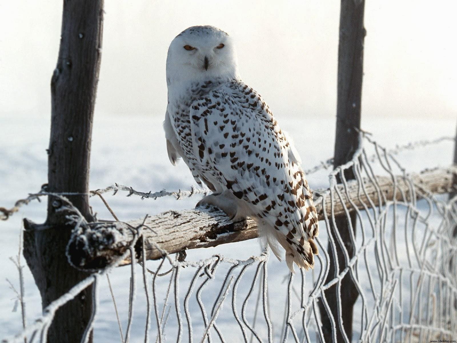 "<img src=""http://4.bp.blogspot.com/-cpMjSbrSiVw/Ut5F8e-rA3I/AAAAAAAAJiA/A5u4PMb47Y0/s1600/white-winter-owl.jpg"" alt=""white winter owl"" />"