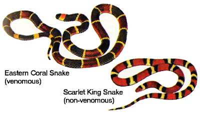 Notices the red stripes bracketed in yellow identifying the venomous variety