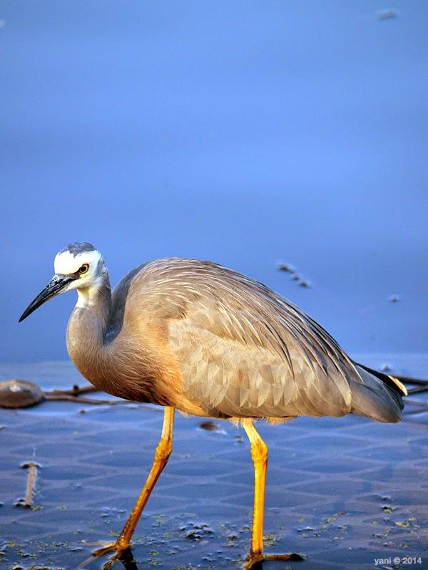 blue water heron