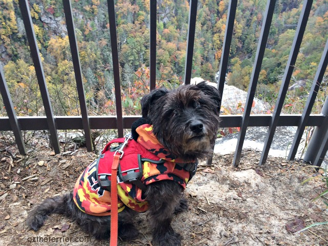 Oz the Terrier enjoys the view at Inspiration Point overlook in Tallulah Gorge State Park, Georgia