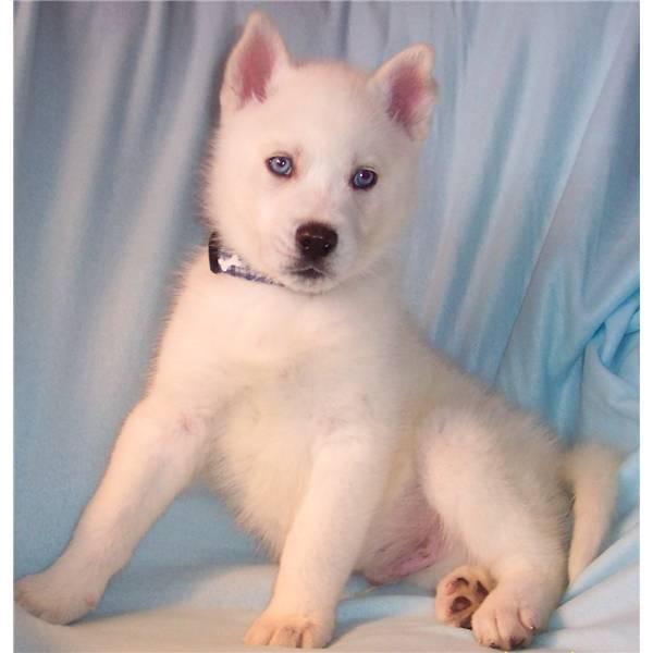 white siberian husky puppies - photo #5