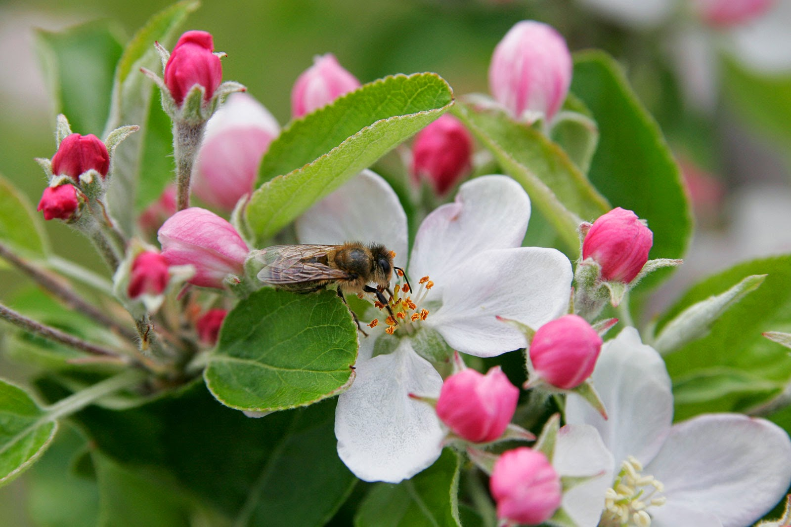 http://commons.wikimedia.org/wiki/File:Bee_in_apple_blossom.jpg