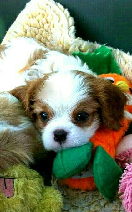 Cute Blenheim Cavalier puppy