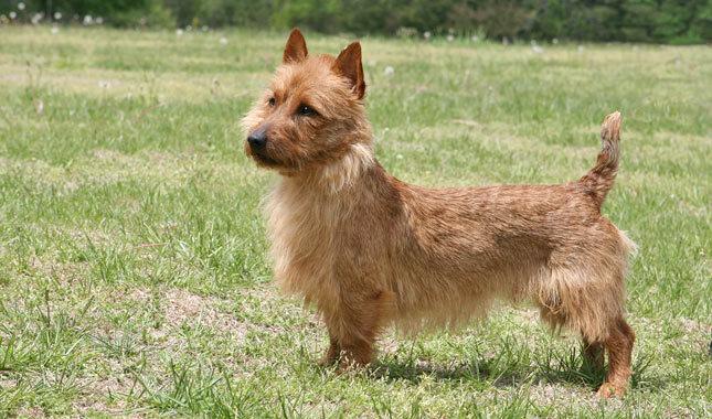 animal general hospital  breeds  australian terrier