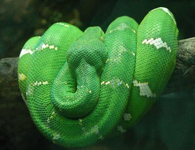 The most colorful Emerald Tree Boa