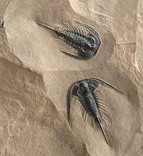 TDI Trilobite Design Italia Di Silvestro Dr. Giampaolo Paleontologo