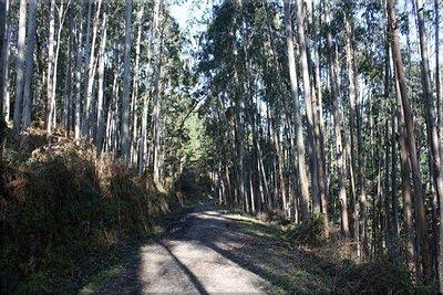 Caminamos entre eucaliptos