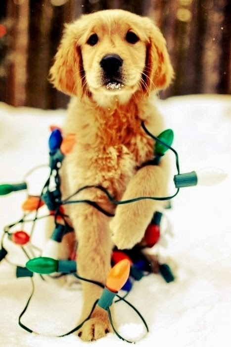 http://www.buzzfeed.com/newu1085/30-dogs-who-think-theyre-christmas-trees-654m