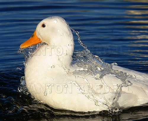 We can't understand each other: Can a duck's feathers get wet?