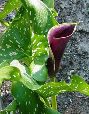 Calla Purple Haze