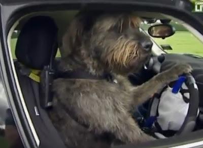 perro manejando un carro