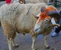 صور كبش عيد الأضحى المبارك