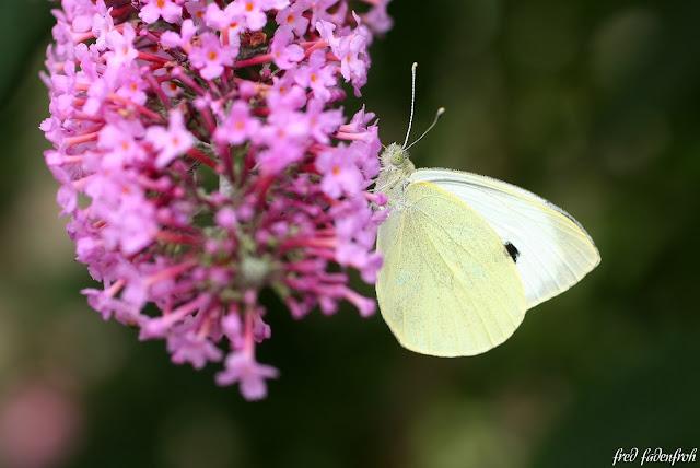 macro flieder lilac butterfly schmetterling