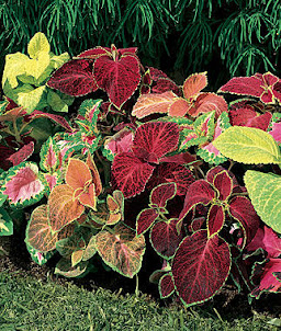 Coleus Wizard Mixed Colors