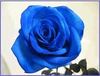 A Blue Rose