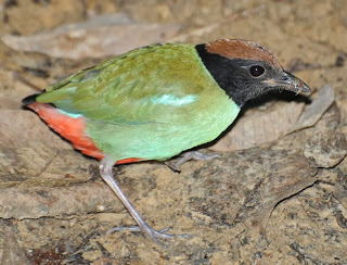 Hooded Pitta (Pitta sordida)