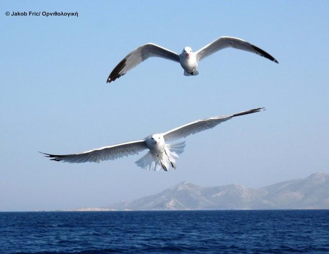 Ταξιδεύοντας με τα θαλασσοπούλια στο Αιγαίο
