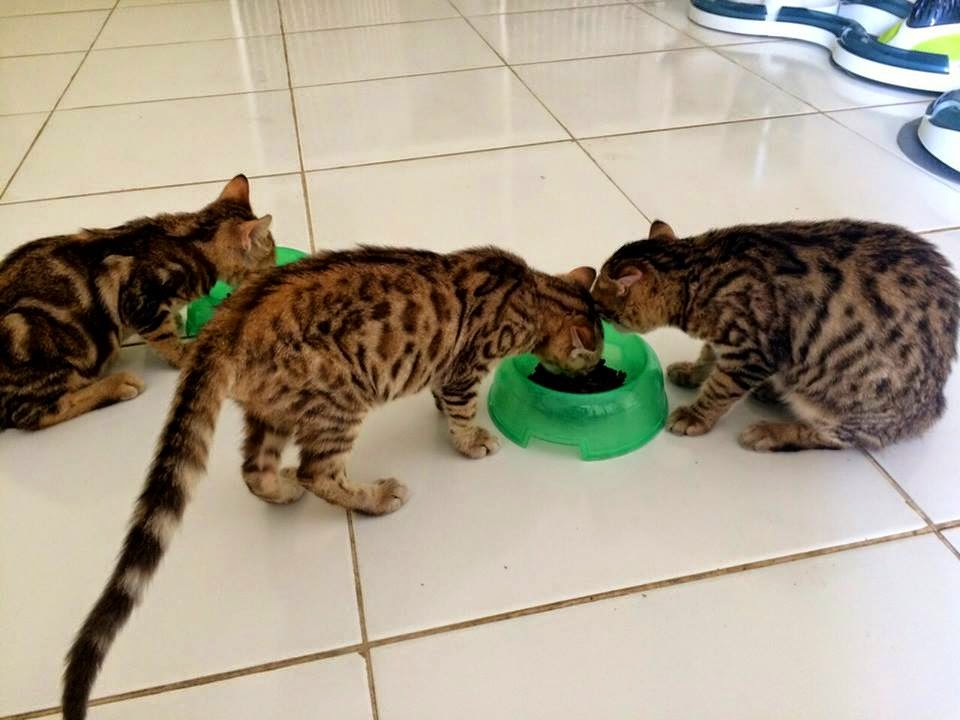 Kucing Bengal Indonesia Jual Kucing Bengal