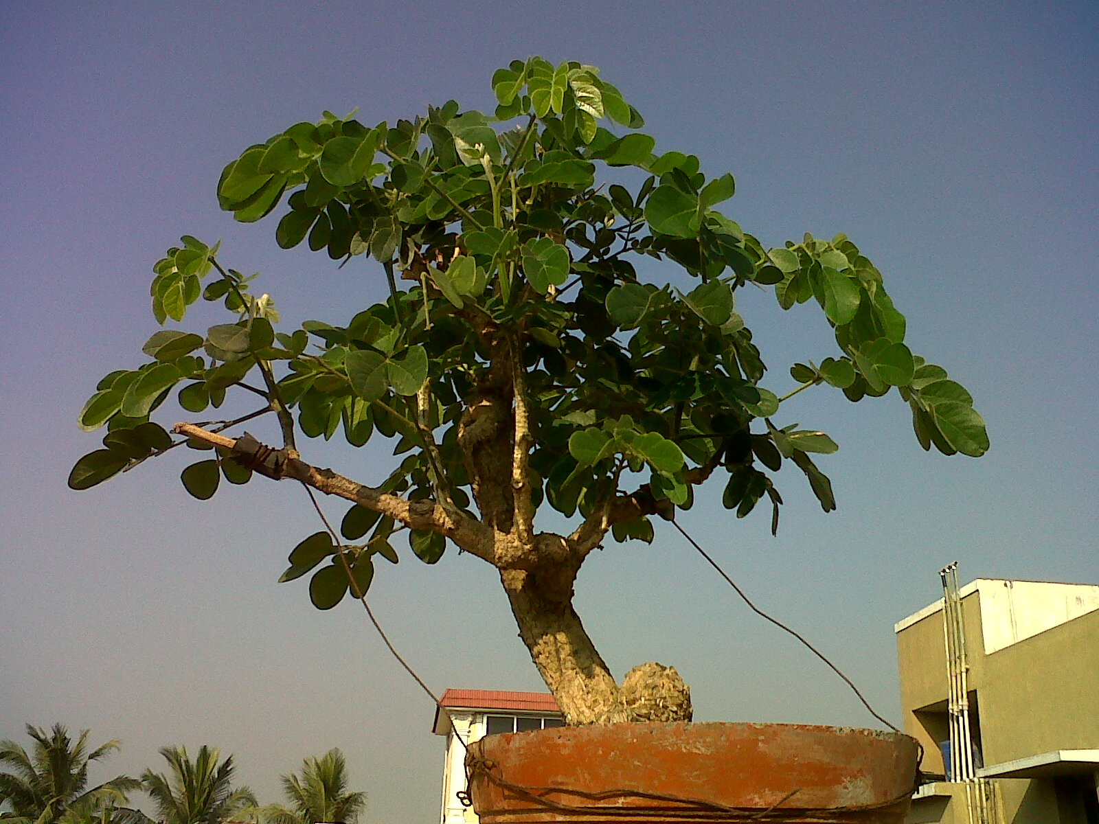 Indian Bonsai Few Updates On Trees