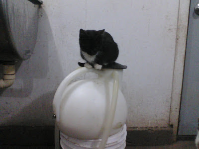 farm cat sitting on quarter milker