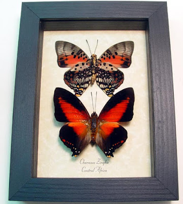 Goth Shopaholic: Framed Dead Insects and Butterflies for Macabre ...